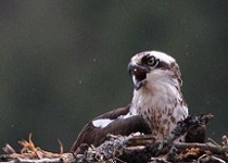 Osprey on nest photographed by Bill Linn
